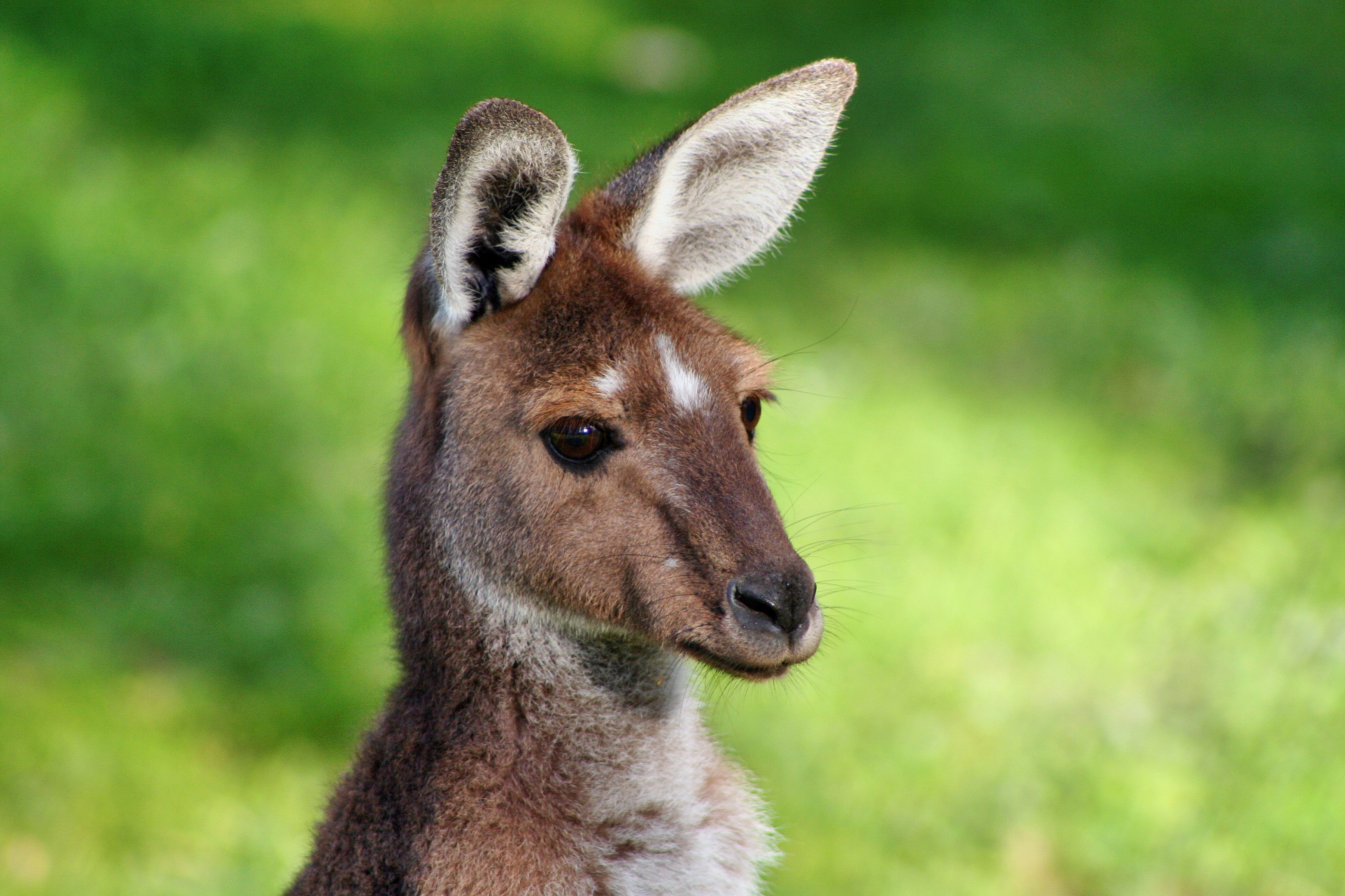 kangaroo in australia